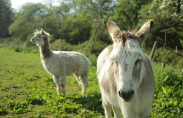 Alpaca and Donkey at Lancing College Farm